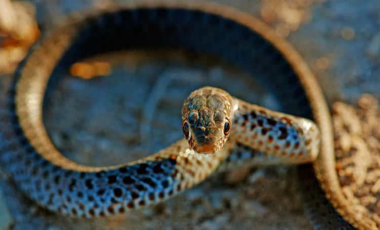 Venomous snakes