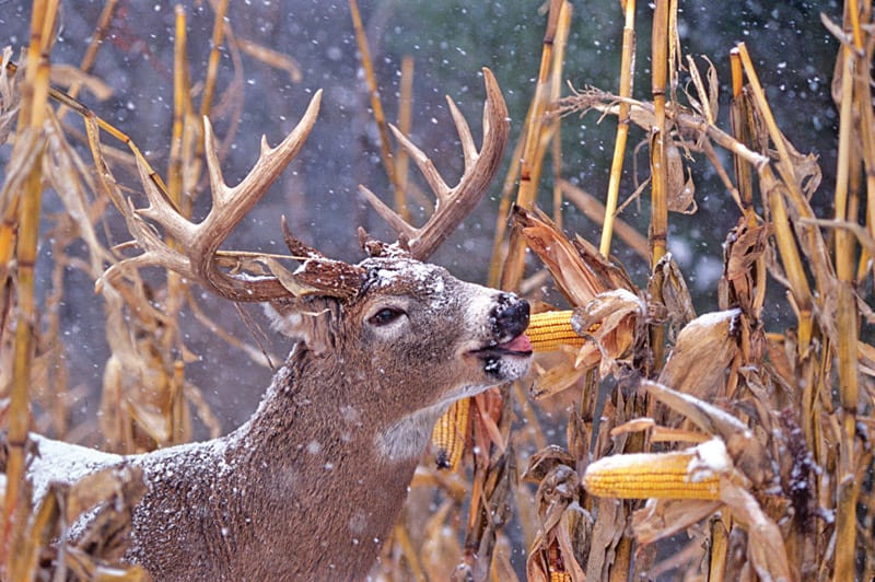 Food for Deer in Winter
