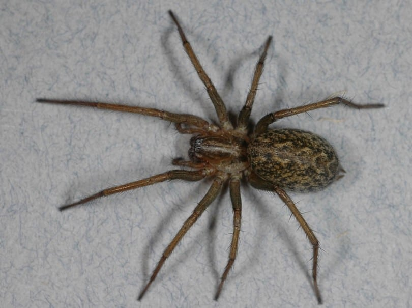 High Quality ... They Are Found In The America, They Did Not Take The Same Type Of The  Environment That It Took It Its European Home. They Become A Common House  Spider.