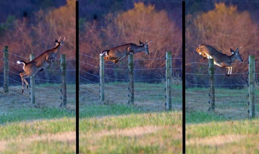 How High Can A Whitetail Deer Jump