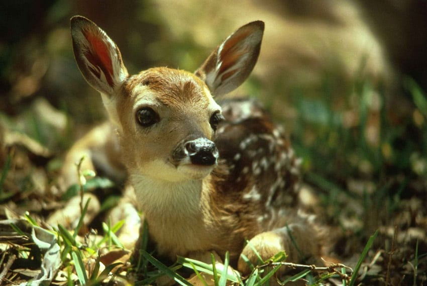 When Do Fawns Lose Their Spots?