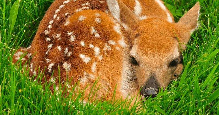 When Do Fawns Lose Their Spots